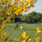 Genêts fleuris aux Hauts de Toulvern