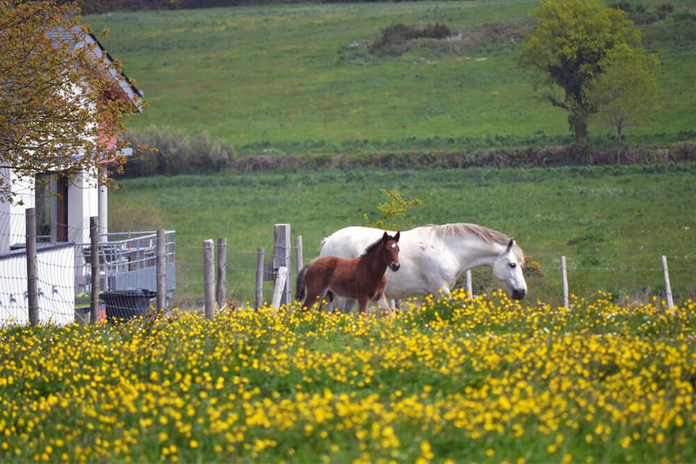 Les chevaux et poulains paissent dans la prairie